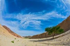 Locusta di tortilisi dell'acacia nel canyon nero Fotografia Stock