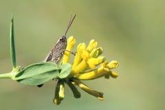 Locusta e fiore Immagine Stock Libera da Diritti