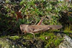 Locusta egiziana (aegyptium di Anacridium) Immagini Stock Libere da Diritti