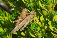 Locusta egiziana & x28; Aegyptium& x29 di Anacridium; coppia Fotografia Stock Libera da Diritti