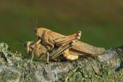 Locusta egiziana & x28; Aegyptium& x29 di Anacridium; coppia Fotografia Stock
