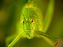 Locusta migratoria Stockfoto