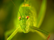 Locusta migratoria. The portrait of funny locust on green stock photo