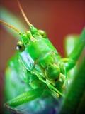 Locusta migratoria. The portrait of funny locusta migratoria royalty free stock photos