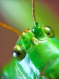 Locusta migratoria. The close-up portrait of funny locusta migratoria Stock Photo