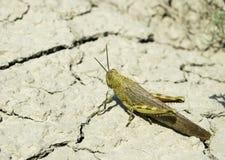 Locusta migratoria Immagini Stock Libere da Diritti