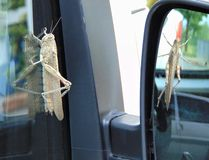 Locusta migratoria, Migratory locust sitting on the car window and reflected in the mirror. stock photo