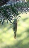 Locusta su un ramo dell'abete. Fotografia Stock