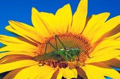 Locusta sul girasole Fotografie Stock Libere da Diritti