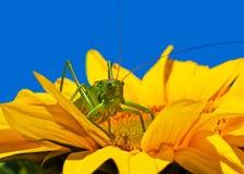 Locusta sul girasole Immagini Stock
