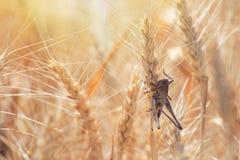 Locusta sul grano del grano Danneggiamento del raccolto di intero raccolto di grano Immagini Stock