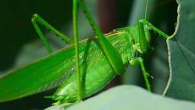 Locusta verde video d archivio