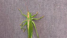 """Locusta verde - cavalletta cornuta verde del †della locusta migratore del †della cavalletta """"breve """" video d archivio"""