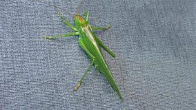 """Locusta verde - cavalletta cornuta verde del †della locusta migratore del †della cavalletta """"breve """" stock footage"""