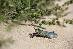 Locusta verde della cavalletta Fotografie Stock Libere da Diritti