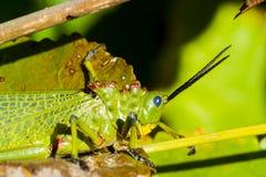 Locusta verde di Milkwood Immagine Stock