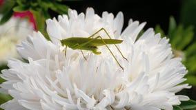 Locusta verde femminile sul fiore video d archivio