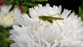 Locusta verde femminile sul fiore stock footage
