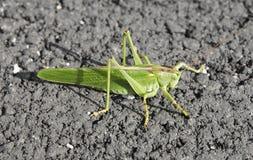 Locusta verde gigante Immagini Stock Libere da Diritti
