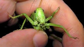 """Locusta verde isolata su fondo nero - cavalletta cornuta verde del †della locusta migratore del †della cavalletta """"breve """" stock footage"""