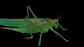 """Locusta verde isolata su fondo nero - cavalletta cornuta verde del †della locusta migratore del †della cavalletta """"breve """" video d archivio"""