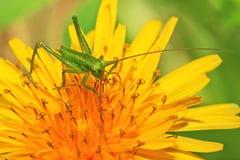 Locusta verde sul fiore Fotografia Stock