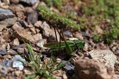 Locusta viridissima Stock Photography