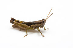 Locuste Fotografie Stock Libere da Diritti
