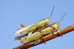 Locuste accoppiamento Immagine Stock Libera da Diritti
