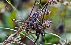 Locuste nell'erba su un prato. Fotografie Stock Libere da Diritti