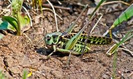 Locuste nell'erba sulla a   prato. Immagini Stock Libere da Diritti