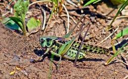 Locuste nell'erba sulla a   prato. Immagini Stock