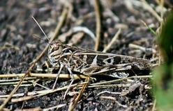 Locuste nell'erba sulla a   prato. Fotografia Stock