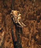 Locusts Stock Images