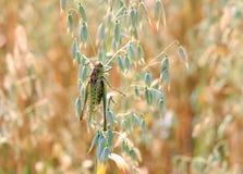 Locusts Stock Photography