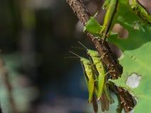 Locusts are breeding in nature Stock Photos