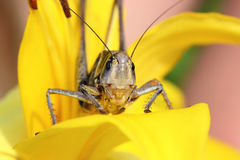Locusts on a bright background Royalty Free Stock Photo
