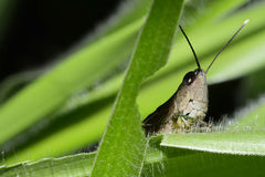 Locusts Stock Image