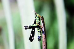 The green grasshopper is on a dry branch. royalty free stock photography