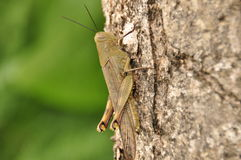 Locusts, insect sitting on a tree in the jungle. Indonesia Stock Image