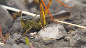Locusts lay their eggs in ground. Macro, close-up. Locust invasion. Locusts lay their eggs in the ground. Macro, close-up. Locust invasion. Selective focus stock video footage