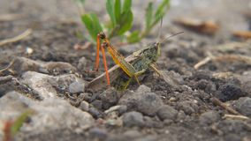 Locusts lay their eggs in ground. Macro, close-up. Locust invasion. Locusts lay their eggs in the ground. Macro, close-up. Locust invasion. Selective focus stock footage