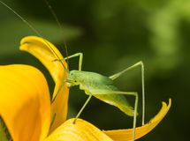 The locusts Royalty Free Stock Images