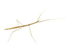 Locusts species. Stock Photos