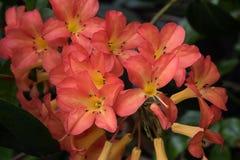 Lodernder Rhododendron Stockfoto