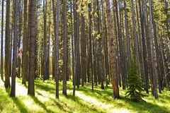 Lodgepole with Fir Stock Image