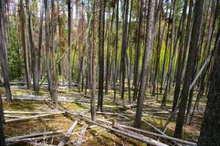 Lodgepole Forest Royalty Free Stock Image