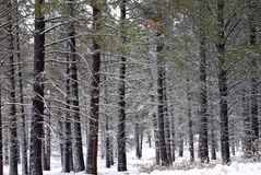 Lodgepole Pine Forest in the Snow. Horizontal image of lodgepole pine forest with their branches catching the falling snow Royalty Free Stock Image