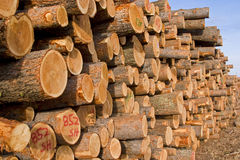 Lodgepole Pine Logs Royalty Free Stock Images