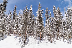 Lodgepole Pines Against a Blue Sky Stock Image